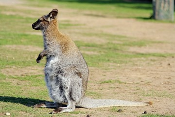 adult wallaby