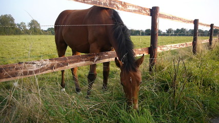 Grazing horse in Normandy, France