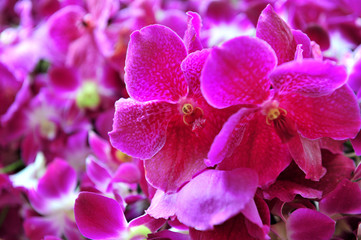 Purple orchid isolated on leaf background