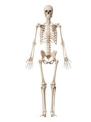 medical 3d illustration of the male skeleton