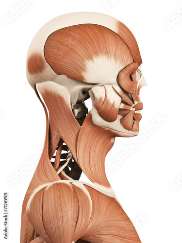 canvas print picture medical 3d illustration of the head muscles