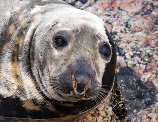Seal (Pinnipeds, often generalized as seals)