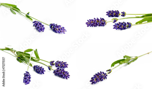 Poster Lilac Lavender