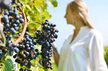 Ripe grapes. Vineyards in Lavaux, Switzerland