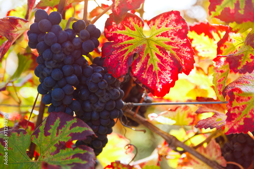 canvas print picture vineyard