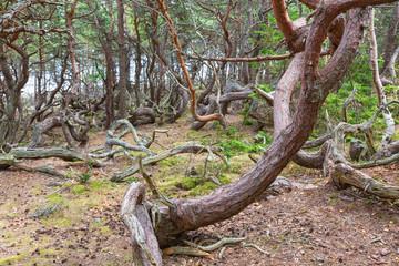 Old Pine tree woods