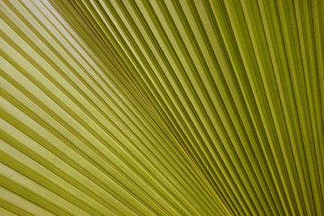 Texture of palm Leaf for background