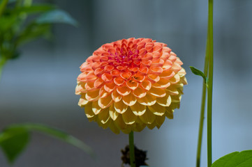 Red to yellow dahlia