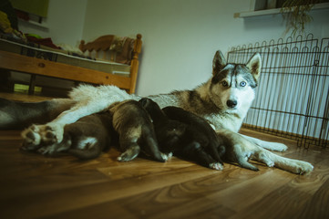 The image of cute dog nursing her little puppies indoor
