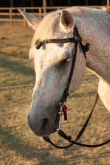 Cavallo bianco con il muso in primo piano