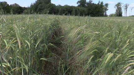 Ripe barleycorn plant crop ears move in wind