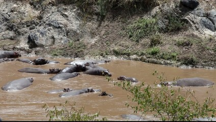 Herd of hippopotamuses in Mara river. Kenya.