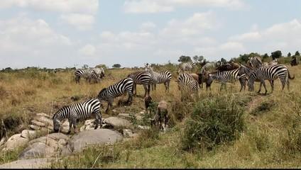 African zebras migrate.