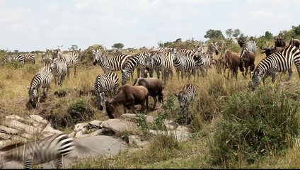 Migration Of Zebras  and  Wildebeest.