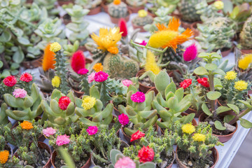 small flowered cactus