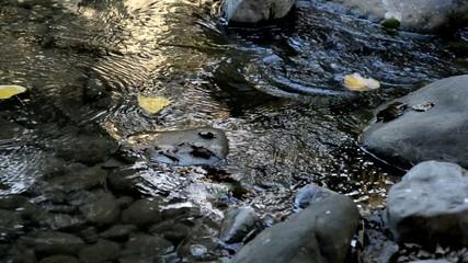 Ruscello, foglie nella corrente, corso di acqua