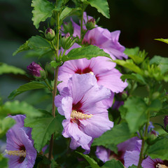 Hibiscus syriacus beautiful flower