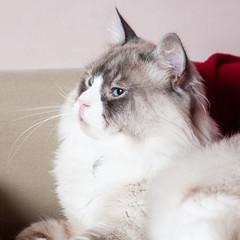 Gatto Siberiano - Neva Masquerade