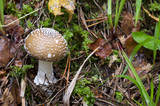 Amanita pantherina. mushrooms in the forest