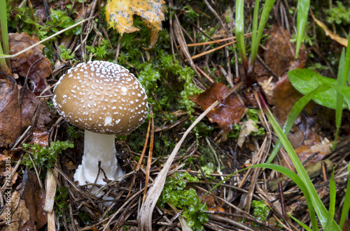 Amanita pantherina. mushrooms in the forest - 71282385