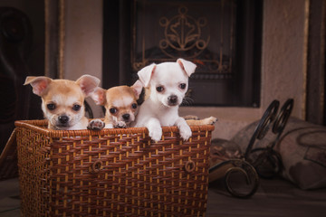 chihuahua puppies Retro