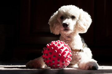 poodle with a ball