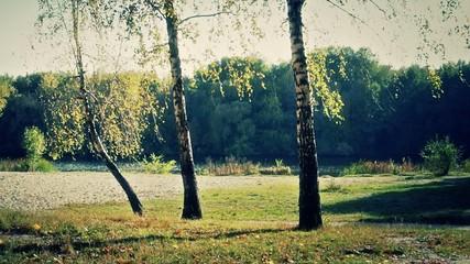 Three autumn birches