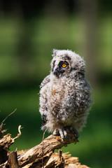 Long-eared Owl (Asio otus) owlet