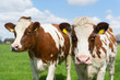 canvas print picture - Brown white cows