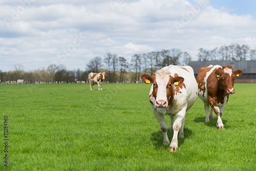 canvas print picture Brown white cows