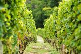 crozes hermitage vineyard, rhone france