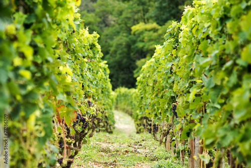 Leinwandbild Motiv crozes hermitage vineyard, rhone france