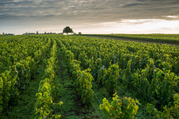 Vineyards in Pommard, near  Beaune, Burgundy, France