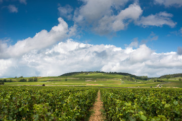 Vineyards in Beaune, Burgundy, France