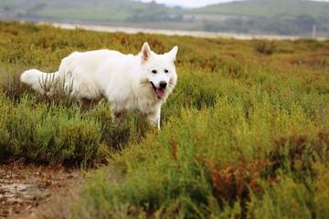 Schweizer weißer Schäferhund