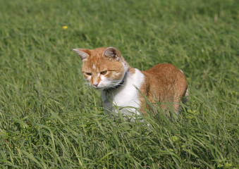 Cute tabby cat walking on dandelion meadow