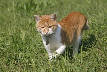 Kitten kitty cat walking on a summer floral lawn