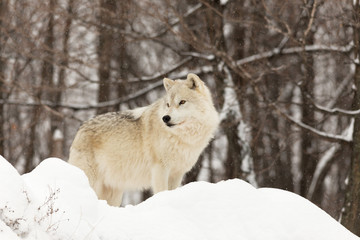 Lone Arctic Wolf in winter