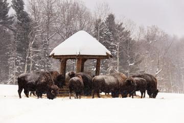 Heard of buffalo feeding