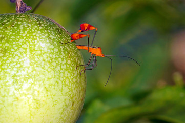 Leaf footed bug Anisoscelis flavolineata