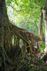 Old tree in a Cuban forest with aerial roots
