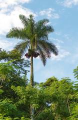 Royal Palm Tree, Cuban National Tree