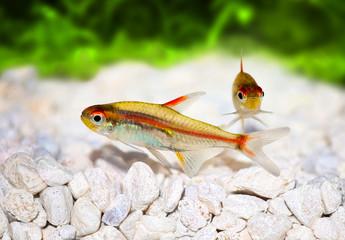 Glowlight Tetra Hemigrammus erythrozonus aquarium fish