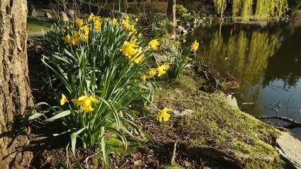 Sunrise Daffodils by Pond