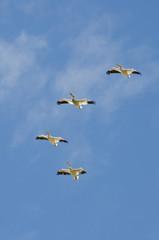 Flock of American White Pelican Flying in a Blue Sky