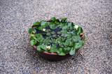 Lotus leaves-5