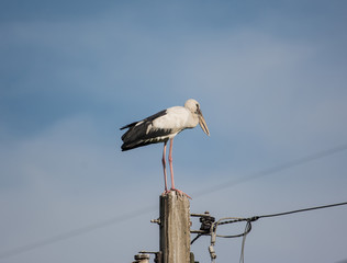 Great blue heron standing on electric post with blue sky