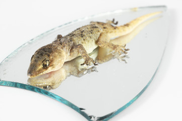 One Small Gecko Lizard and Mirror