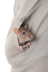 young domestic rat