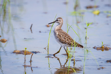 Wood Sandpiper(Tringa glareola ) walking in nature of Thailand